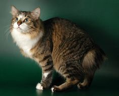 Kurilian Bobtail Cats 101, Cats And Kittens, Cat 2, Dog Cat, American Bobtail Cat, Seal Point Siamese, Japanese Bobtail, Sphinx Cat, Mean Cat