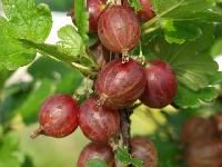 Ribes uva-crispaLepaan punainen