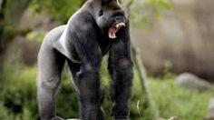 """Résultat de recherche d'images pour """"gorille dos argenté attaque"""""""