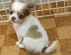 Chihuahua Puppy with Heart Spot Wallpaper from Puppies. Sweet little Chihuahua puppy with a clear HEART spot marking on it fur. Chihuahua Love, Chihuahua Puppies, Cute Puppies, Dogs And Puppies, Doggies, 15 Dogs, Baby Dogs, Love My Dog, Puppy Love