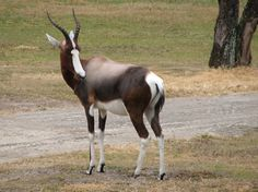 Bontebok (Damaliscus pygargus pygarus)