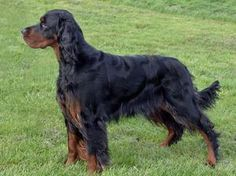Pedigree KC Registered Gordon Setter Puppies in Oswestry, Powys ...