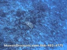 Awesome video of snorkeling with green sea turtles and dolphins! #Hawaii #Turtles #Snorkel