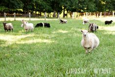 Sheep and Goats in a field. $25.00, via Etsy. by Lindsay Wynne Photography