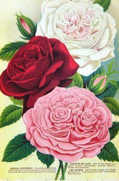 Vintage Rose Album: Róża