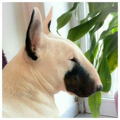 get BULL Terrier free stickers Chien Bull Terrier, Mini Bull Terriers, Miniature Bull Terrier, English Bull Terriers, Pitbull Terrier, Boston Terrier, Best Dog Breeds, Best Dogs, Bully Dog