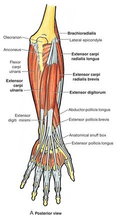 In human anatomy, the extensor indicis [proprius] is a narrow, elongated skeleta… In der menschlichen Anatomie ist der Extensor indicis. Elbow Anatomy, Forearm Anatomy, Wrist Anatomy, Upper Limb Anatomy, Human Body Anatomy, Human Anatomy And Physiology, Muscle Anatomy, Anatomy Study, Anatomy Reference
