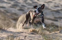 #Weekend everyone! Another attempt at catching our little guy running in #desert. Getting better... :-)  . . . #MyDubai #dubai #doglovers #photography #nofilter #desertlife #Canon #Canon6Dmk2 #Canon100-400 #reasonstosmile