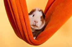 'US Teddy Meerschweinchen ' von Doreen Zorn bei artflakes.com als Poster oder Kunstdruck $16.63
