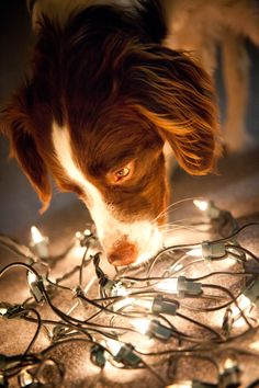 Puppy's first Christmas. Brittany Spaniel. Johannah G Photography