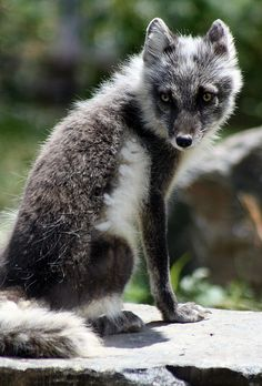 tulipnight:  Arctic Fox by HollyBerry255 on Flickr.