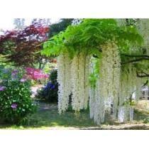 1 Cápsulas Wisteria Branca Bonsai Planta Árvore Flores/rosa