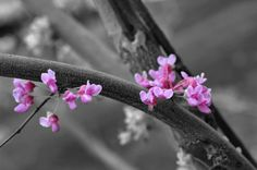 Hey, I found this really awesome Etsy listing at https://www.etsy.com/listing/232948019/redbud-in-bloom-selective-color-photo