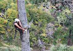 Way up high in a New Zealand Native gully -  pruning dead wood from a pine, pruning is for large trees too!