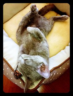 #russianblue #abyssinian #cat #cats  #animal #photography #peace #zen