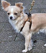 Maddy in the bronze Shoulder Collar  #chihuahua
