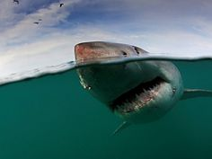 Book your Great White shark cage dive in South Africa - Dirty Boots Shark Cage, Species Of Sharks, Shark Diving, Anime Sensual, Adventure Holiday, Cape Town South Africa, Great White Shark, Adventure Activities, Day Tours