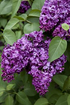 I loved laying in the middle of my grandma's lilac bushes when I was little.  It was my secret hiding place and it smelled lovely.