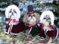 Love these Shih tzus!