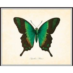 Vintage Butterfly Series 2 Papillon Plate 5 Art Print 8x10 Natural... ($10) ❤ liked on Polyvore