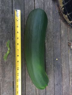 My first zucchini from my first garden. #gardening #garden #DIY #home #flowers #roses #nature #landscaping #horticulture