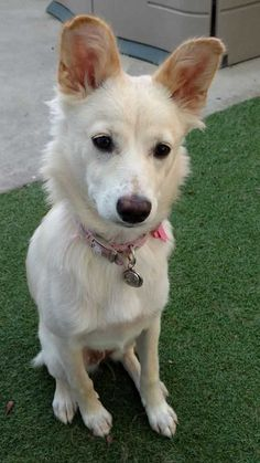 Pollie is an adoptable shiba inu searching for a forever family near Mission Viejo, CA. Use Petfinder to find adoptable pets in your area.