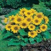 Little Leo sunflowers.