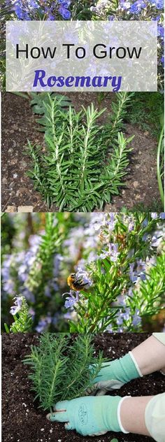 Growing Rosemary In the Garden Or In A Container #Growing #Rosemary #Garden #Herbs #Container