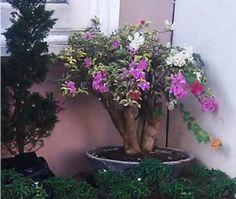 Foto Cara Merawat Bunga Bougenville Di Lahan Sempit