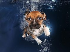 This loveable Beagle mix, Ava, dives into the pool and swims right up to the camera! You can find this cute puppy along with many others in the 115-page book, which was released on Sept. 16, 2014.
