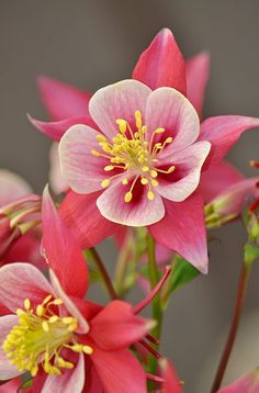 Pink and white columbine