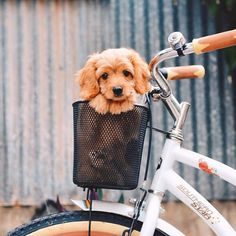 Puppy in a bicycle basket! Too cute. Image via We Heart It