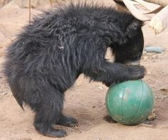 Dancing Bear Rescue - Rescued captive sloth bear in India. There are no longer dancing bears on the streets of India but the rescued bears still need YOUR help. Read more  about Raju and adopt a former dancing bear.
