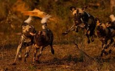 So hoping to see African Wild Dog (African Painted Dog) when in Kruger in 2 weeks - they are highly social, hunt in well-coordinated teams, and the entire pack cares for the pups and injured members.  They have been demonized by humans for their supposedly 'vicious' kills (they are predators...) and are under incredible threat due to shrinking habitat.