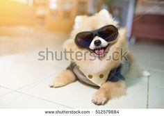 Find Dog Pomeranian Spitz Wearing Glasses Lovely stock images in HD and millions of other royalty-free stock photos, illustrations and vectors in the Shutterstock collection. Wearing Glasses, Pomeranian, Cat Eye Sunglasses, Photo Editing, Royalty Free Stock Photos, Dogs, How To Wear, Pictures, Image