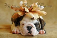 beige flower pup