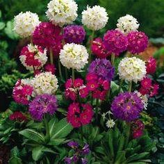 Ronsdorf Hybrids Drumstick primrose seeds - Garden Seeds - Perennial Seeds-winter hardy to Zone 2