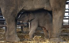 Um elefante bebê é visto sob sua mãe durante a celebração do Dia Nacional do Elefante na cidade antiga de Ayutthaya, na Tailândia