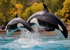 The orca or killer whale is a toothed whale and is a member of the Dolphin family (it is the largest dolphin).
