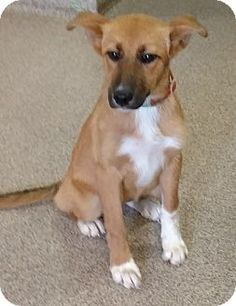 Troy, OH - Shepherd (Unknown Type) Mix. Meet Leia, a puppy for adoption. http://www.adoptapet.com/pet/18897697-troy-ohio-shepherd-unknown-type-mix