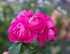 Att anlägga en mormorsrabatt | UnderbaraClara | Bloglovin' Flowers, Mat, Royal Icing Flowers, Flower, Florals, Floral, Blossoms