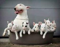 Resultado de imagen para perro bull terrier cachorro