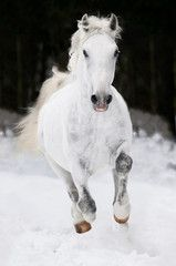 white Lipizzan horse runs gallop in winter