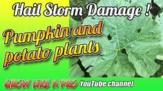 - Potato and Pumpkin Plants Pumpkin Plants, Planting Pumpkins, Hail Storm, Propagation, Channel, Potatoes, Gardening, Watch, Youtube
