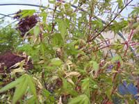 Acer palmatum Asahi zura