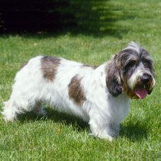 Petit Basset Griffon Vendeen size: small exercise: high grooming: medium trainability: very easy Big Dogs, Dogs And Puppies, Doggies, Petit Basset Griffon Vendeen, Dog Breed Info, Dog List, The Perfect Dog, Schnauzer Dogs, Purebred Dogs