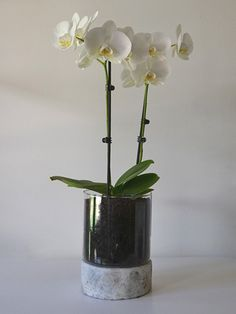 phalaenopsis orchid | glass pot with stone base