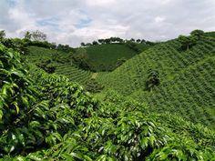 Coffee plantation - At the National Coffee Park - Quindio- Colombia. Atracciones del Parque Nacional del Cafe