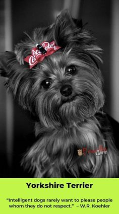 "Get terrific tips on ""Yorkshire terrier puppies"". They are readily available for you on our website. Yorky Terrier, Yorshire Terrier, Yorkies, Yorkie Puppy, Havanese Dogs, Little Dogs, Beautiful Dogs, Animals Beautiful, Cute Puppies"