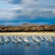 Get into the wild in New Mexico    Bird-watching has its skeptics, but those skeptics probably haven't seen a skyful of sandhill cranes angle into a pond at sundown, legs unfurled like landing gear, and hit the water as the sun drops below the Chupadera Mountains.    Welcome to the Bosque del Apache National Wildlife Refuge in New Mexico.    via sunset magazine